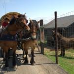L'âne de Poitou